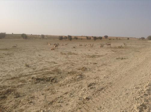 Khalagadi - springbok